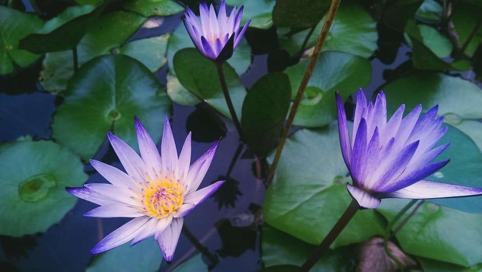 Water lillies, Grounded Energy